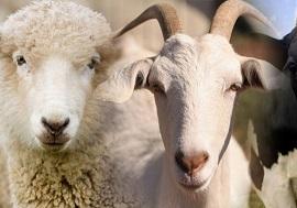 oveja-cabra-vaca-710x378